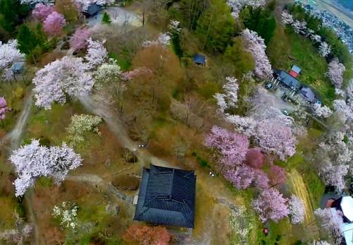 桜の鍋倉城址を空撮動画