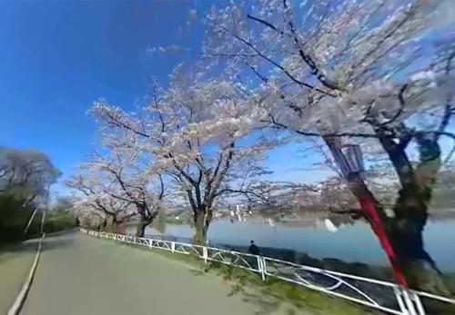 高松の池桜並木をモーションVRで見