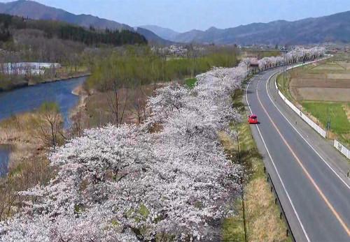 綾織町新里の桜並木を空撮動画で